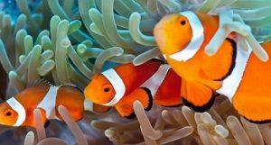Anemon Laut dan Ikan Badut