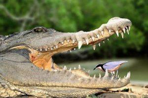 Burung Plover dan Buaya