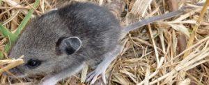 Tikus dan Petani