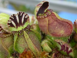 tumbuhan pitcher