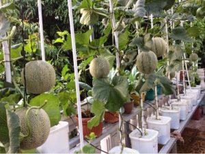 melon hidroponik