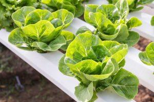 sayuran-hidroponik