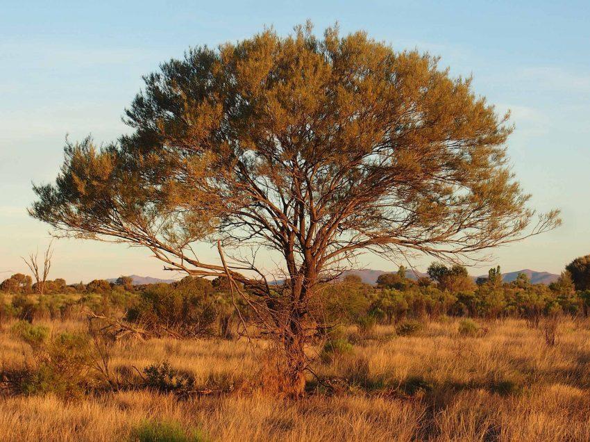 Ciri Flora Australis
