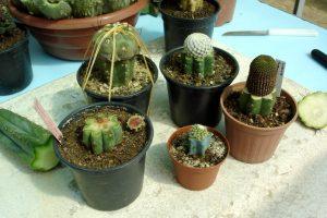 kaktus sambung