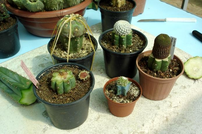 4 Cara Perkembangbiakan Kaktus dan Perawatannya