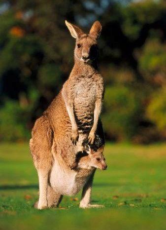 5 Ciri Khas Fauna Australia