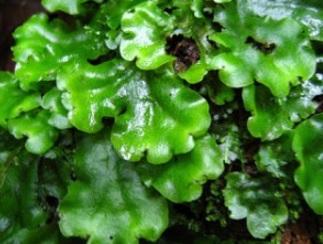 21 Ciri-Ciri Tumbuhan Lumut Daun (Bryophyta) Beserta Gambar