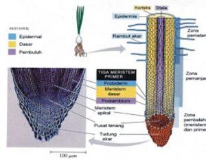 5 Organ Organ Pada Tumbuhan Dan Fungsinya Disertai Gambar Materiipa Com