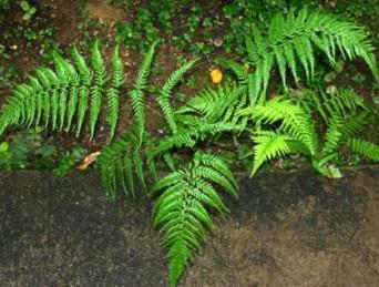 21 Ciri-Ciri Tumbuhan Paku (Pteridophyta) dan Klasifikasinya