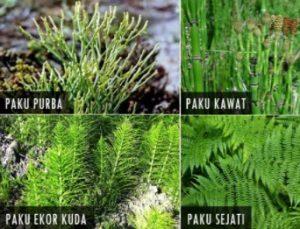 Klasifikasi Tumbuhan Paku