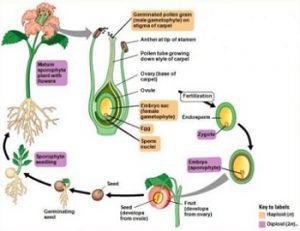 daur hidup tumbuhan biji tertutup