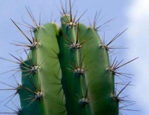 Daun Kaktus Berduri