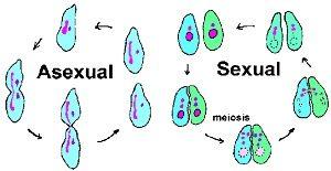 perkembangbiakan Protozoa