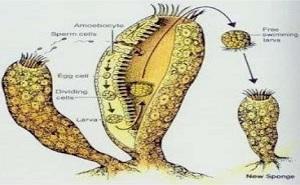 Phylum Porifera Reproduction