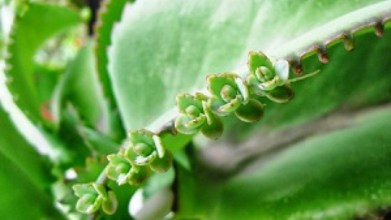 2 Perkembangbiakan Vegetatif Pada Tumbuhan Beserta Contohnya Materiipa Com