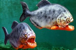ikan piranha merah