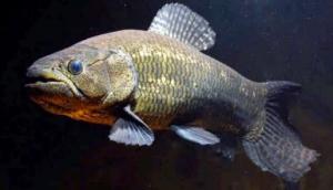 ikan wolfish