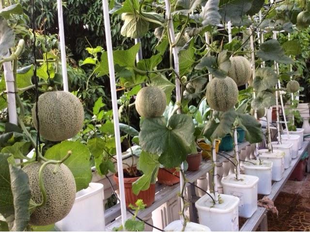 Melon Hidroponik Materiipa Com