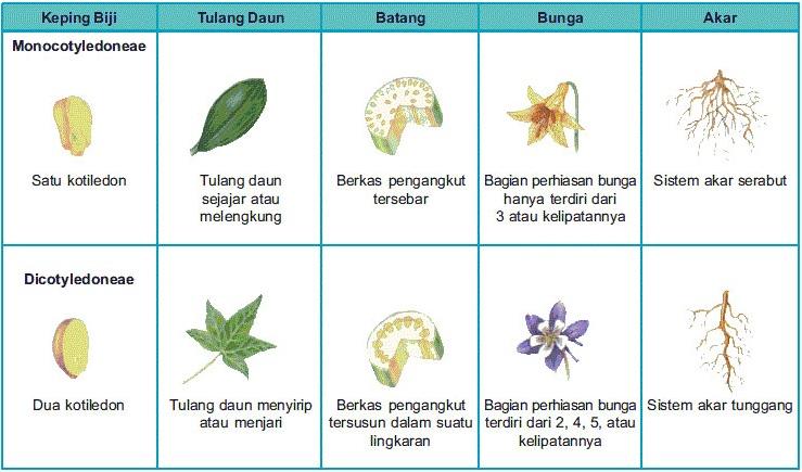 Pengertian Tumbuhan Dikotil dan Monokotil Beserta Contohnya