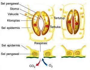 struktur stomata
