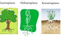 6 Macam Gerak Nasti Pada Tumbuhan Dan Contohnya Materiipa Com