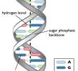 Struktur DNA Double Helix : Komposisi dan Sifatnya