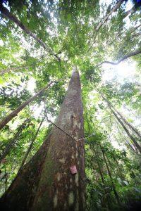 pohon hutan