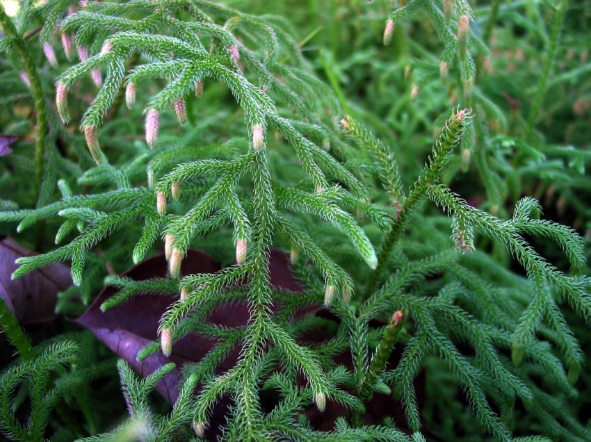 14 Jenis-Jenis Tumbuhan Paku Beserta Ciri-cirinya