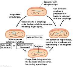 Siklus Lisogenik : Pengertian – Tahapan – Contoh Virusnya