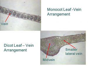 Anatomi Daun Monokotil dan Dikotil