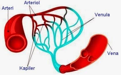 8 Fungsi Pembuluh Darah Kapiler pada Manusia (Terlengkap)