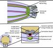 Sistem Saraf Echinodermata (Gambar dan Penjelasannya)