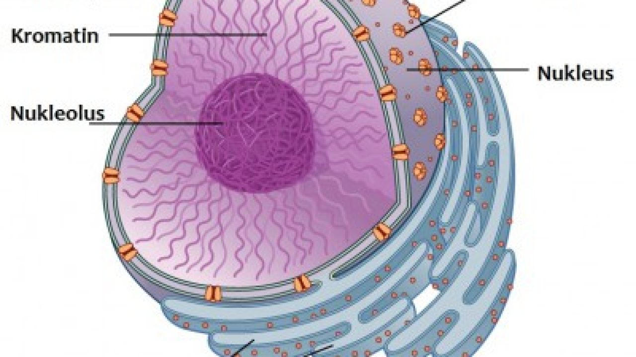 78 Gambar Nukleus HD