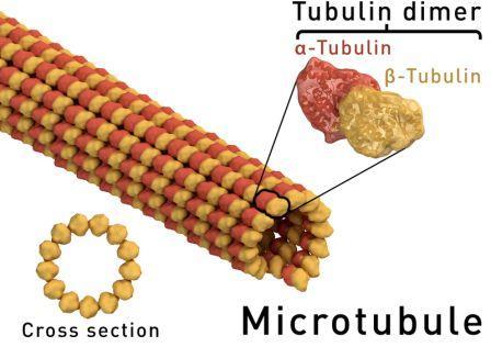 4 Fungsi Mikrotubulus Pada Sel Tumbuhan
