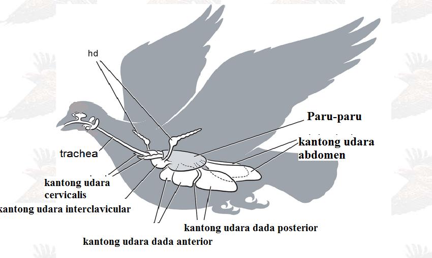 Sistem Pernapasan Pada Burung : Organ dan Mekanismenya