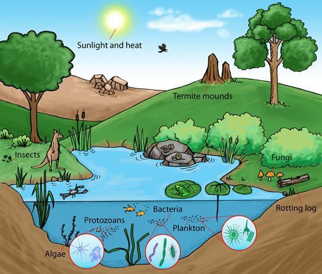Rantai Makanan Ekosistem Danau
