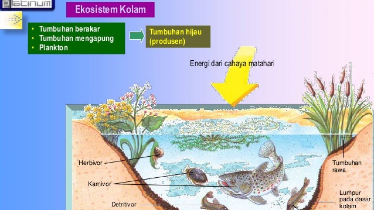 Rantai Makanan Ekosistem Kolam Materiipa Com