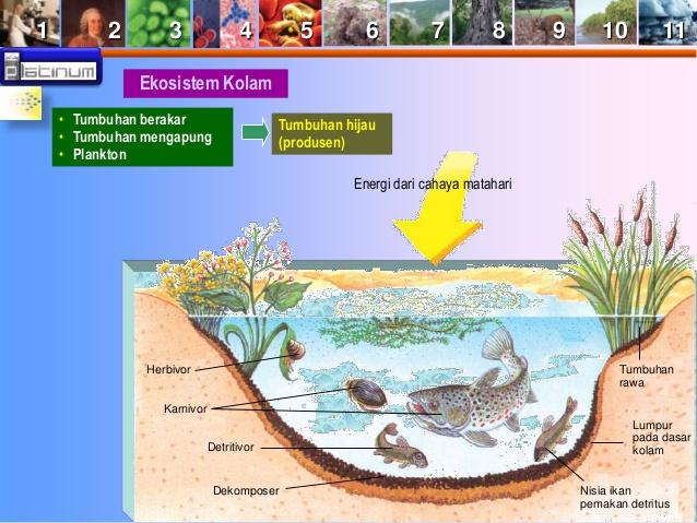Rantai Makanan Ekosistem Kolam