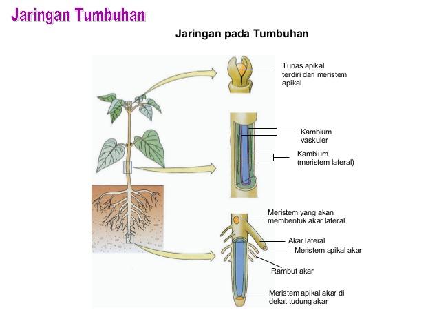 Jaringan Tumbuhan: Letak dan Jenis