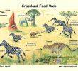 Rantai Makanan Ekosistem Savana