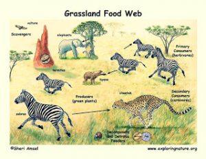 rantai makanan savana