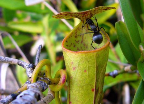 5 Ciri Khusus Tumbuhan Pemakan Serangga dan Contohnya