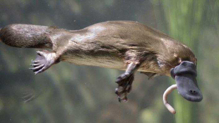 Cara Perkembangbiakan Platypus Terlengkap