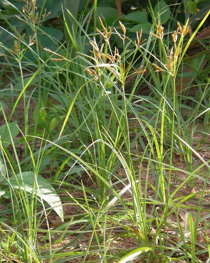 Cara Perkembangbiakan Rumput Teki dan Manfaatnya