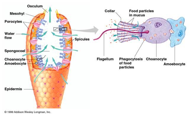 3 Lapisan Tubuh Porifera Beserta Fungsinya