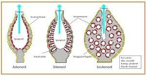 sistem pencernaan porifera1