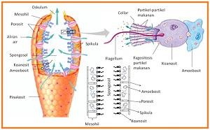 Sistem Pencernaan Porifera dengan Penjelasan Lengkap