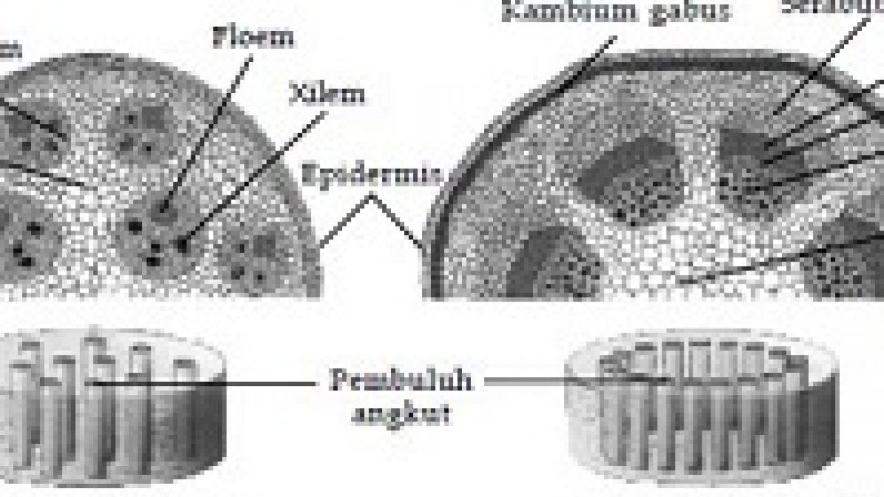 Perbedaan Struktur Jaringan Pada Tumbuhan Dikotil Dan Monokotil