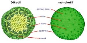 Perbedaan Batang Dikotil dan Monokotil dengan Lengkap ...