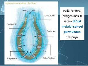 sistem pernapasan porifera